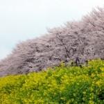 豊川市佐奈川堤の桜の見頃や駐車場は?菜の花も同時に楽しめる穴場?