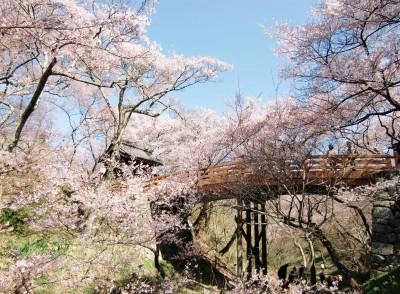 2017高遠城址公園の桜の満開や見頃はいつ?駐車場や渋滞回避と見所は?