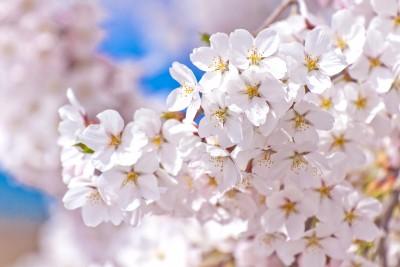 愛知の桜淵公園の桜は長篠設楽原PA近くで花見の穴場スポット?駐車場や見所も