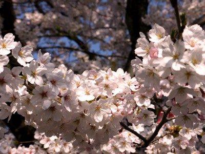 名古屋鶴舞公園桜2017開花ライトアップいつ?見所や混雑撮影スポットは?