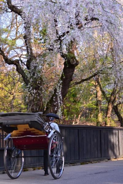 角館桜まつり2017武家屋敷の開花や見頃はいつ?おすすめ見所コースは?