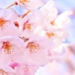 愛知の桜明石公園は子供と1日楽しめる花見の穴場?入園&駐車料無料?