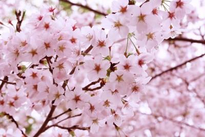 上田城千本桜まつり2017と真田丸関連おすすめスポットやご当地グルメは?