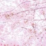 浜松城公園の桜2017開花見頃はいつ?見所や穴場と駐車場情報は?