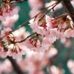 岡崎公園2017桜まつりライトアップと開花いつ?混雑やより楽しむ秘訣は?