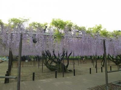 岡崎公園 五万石藤