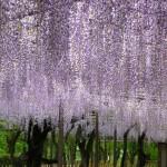 岡崎公園2016藤まつりに行ってきた感想!GWの見頃やライトアップは?