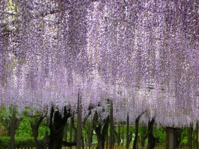 岡崎公園の藤まつりに行ってきた感想!GWの見頃やライトアップは?