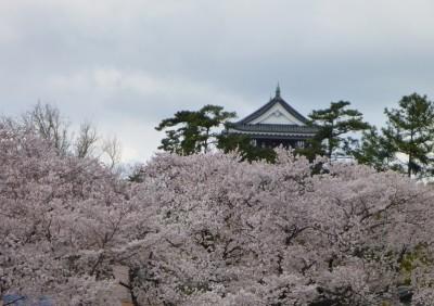 桜と岡崎城天守閣