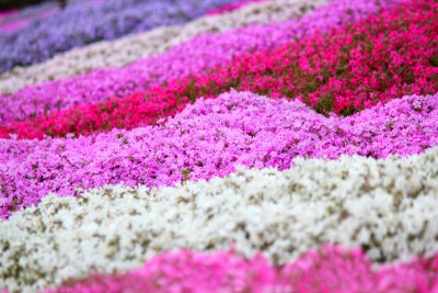 愛知で花を見に行くなら茶臼山の芝桜がおすすめ?開花状況や見頃は?