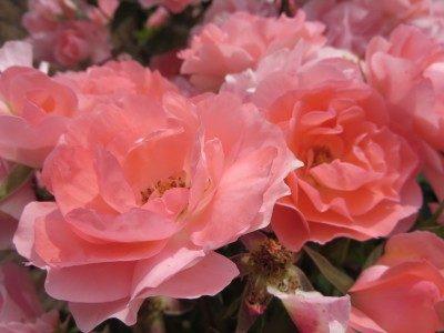 静岡県の花の名所島田ばらの丘公園見頃は?フェアリーキッズとは?