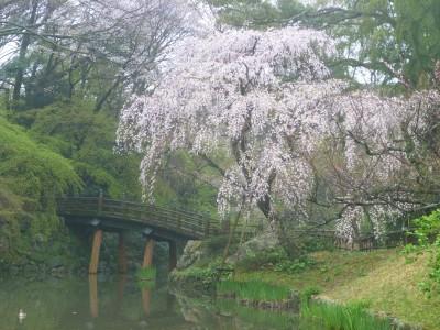 浜松城公園 日本庭園 枝垂れ桜