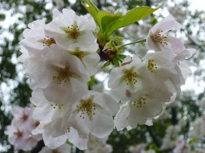 浜松城公園 桜 開花